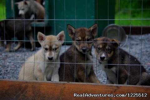 Image #8 of 9 - IdidaRide Sled Dog Tours