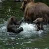 Alaska River Adventures Brown bear and cubs
