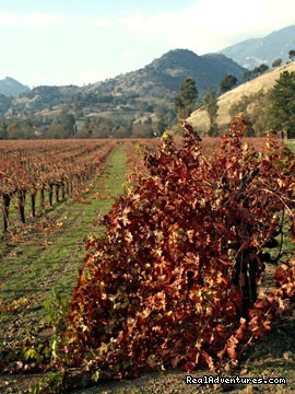 Grapevines near Hillcrest - Napa Valley's Destination Getaway at Hillcrest B&B