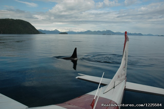 Orca Whales in Prince William Sound - Sky Trekking Alaska