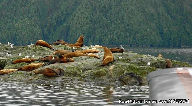 Stellar Sea Lions - Sky Trekking Alaska