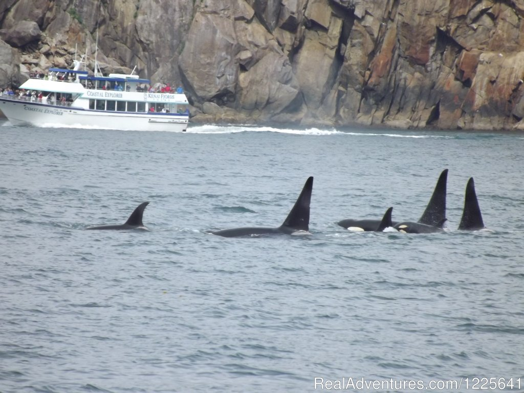 Pod of Orca Whales in Kenai Fjords National Park | Image #4/9 | Alaska Small Group Guided Wildlife & Glacier Tours