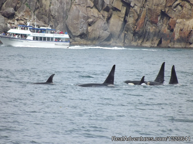 Pod of Orca Whales in Kenai Fjords National Park - Alaska Small Group Guided Wildlife & Glacier Tours