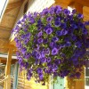Petunias hanging from deck