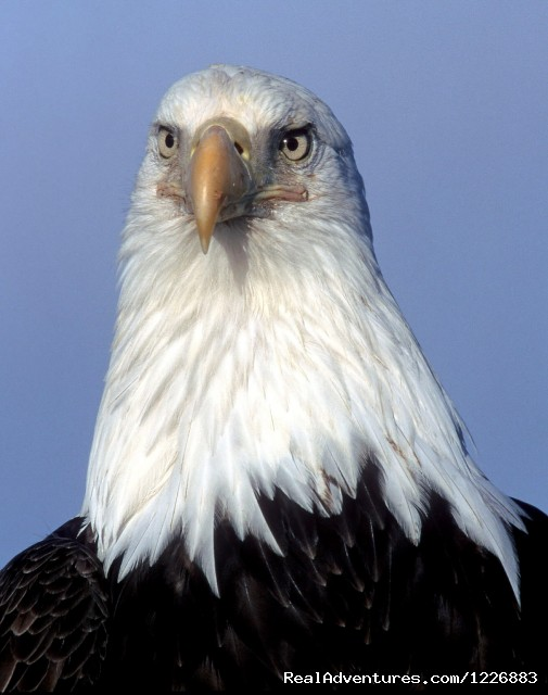 Bird Watching Tour in Yukon Canada: Bald Eagle