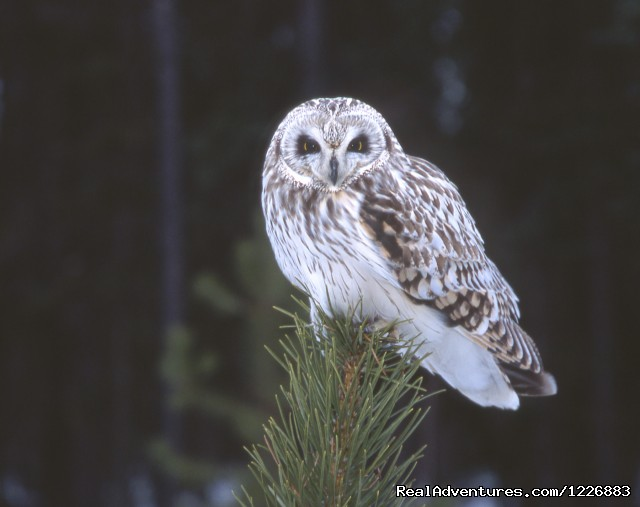 Short Eared Owl - Bird Watching Tour in Yukon Canada
