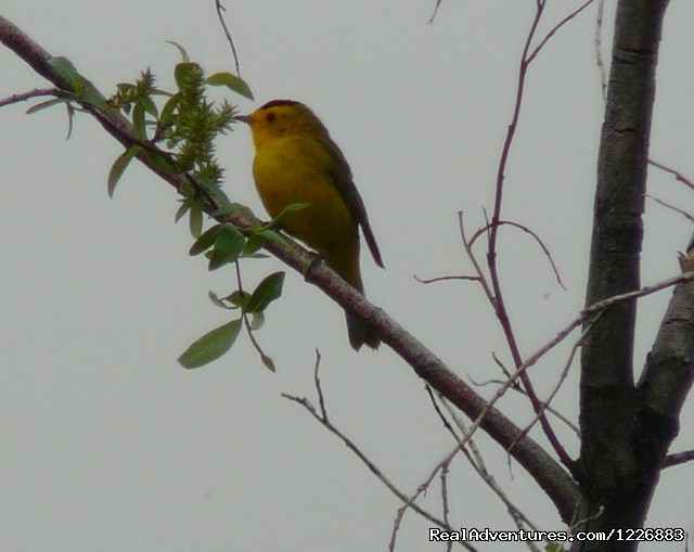Wilsons Warbler - Bird Watching Tour in Yukon Canada