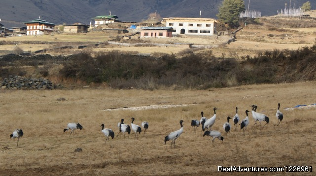 Highly Endangered Black Necked Cranes in Bhutan - Bhutan Beautiful Tour