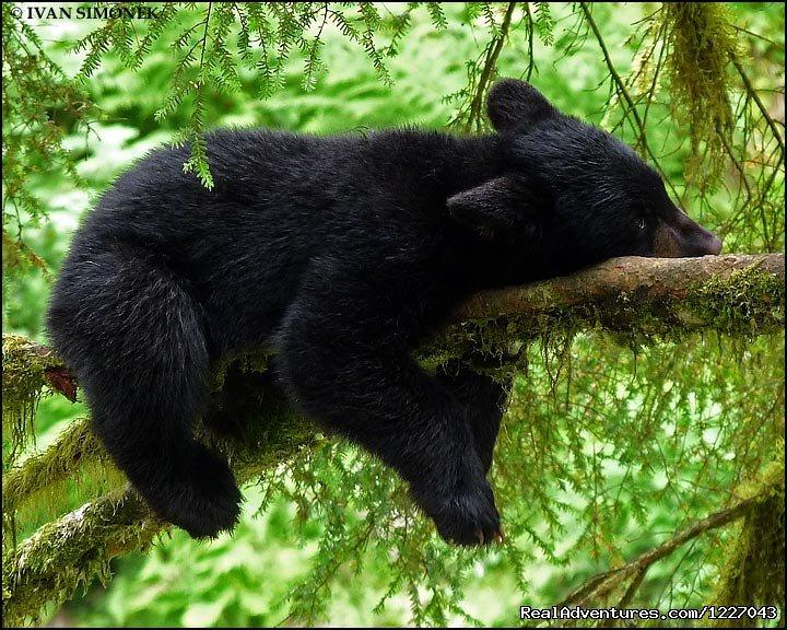 Relaxing Black Bear at AnAn | Image #3/14 | Wilderness Adventure Tours in Wrangell, Alaska