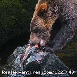 Brown Bears at AnAn - Wilderness Adventure Tours in Wrangell, Alaska