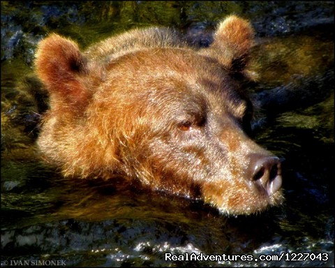Up close to Brown Bears at AnAn - Wilderness Adventure Tours in Wrangell, Alaska