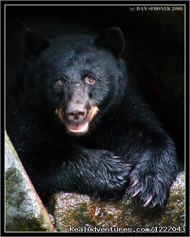 Black Bears at AnAn - Wilderness Adventure Tours in Wrangell, Alaska