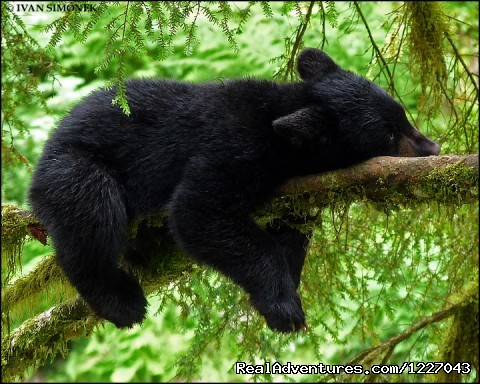 Relaxing Black Bear at AnAn - Wilderness Adventure Tours in Wrangell, Alaska