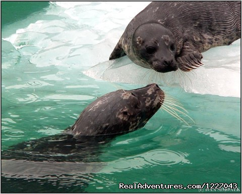 Harbor Seals and pups in LeConte Bay - Wilderness Adventure Tours in Wrangell, Alaska