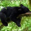 Relaxing Black Bear at AnAn