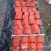 Sockeye Salmon 2012 run was magnificent.