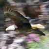 The Eagle Flys