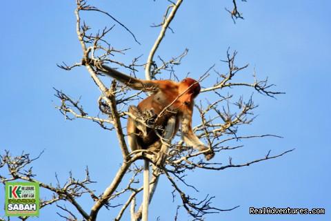 Proboscis Monkey (#19 of 25) - 5d/4n Sabah Below The Wind Esplanade Packages