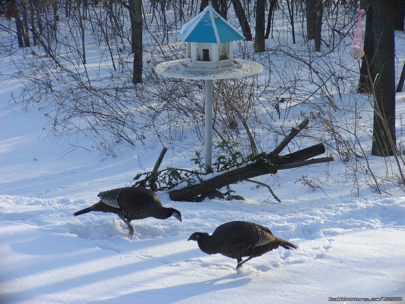 Turkeys at the Feeders | Image #10/20 | Inn at Wawanissee Point