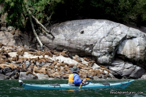 Sea Kayaking with Sea lions Cahuelmo fjord - kayaking  Pumalin Park  Andean fjords Patagonia