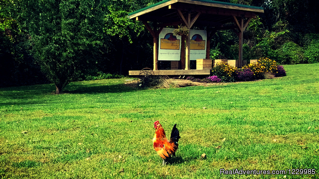 Chickens - Strawbale Winery
