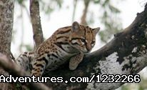 Wild Cat - Explore Panama