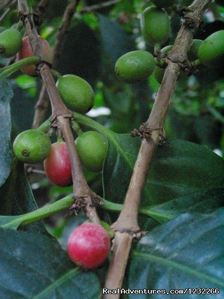 Boquete Coffee, the best in the owrld - Explore Panama