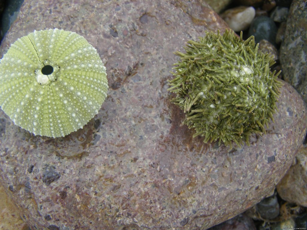 Sea Urchins on beach at Lamaline | Image #22/26 | Learn local ways with Eastern Edventures