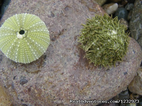 Sea Urchins on beach at Lamaline - Learn local ways with Eastern Edventures