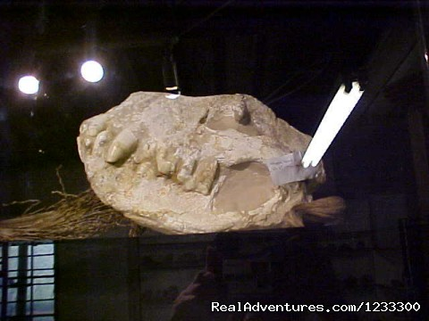 24 million year old Haeyena Procuda Dinosaur skull - Toprock Crystal, Mineral and Fossil Museum Shop