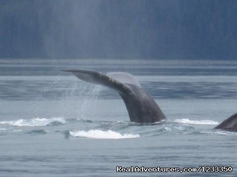 Humpback Whale (#8 of 25) - Alaska's Liveaboard Glacier Bay Yacht Adventures
