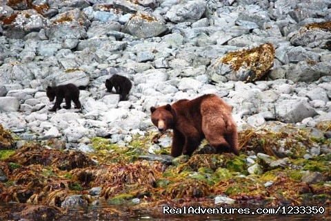 Brown Bear and 2 cubs - Alaska's Liveaboard Glacier Bay Cruises, 5-7 days