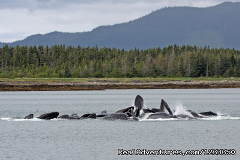 Bubble Feeding Whales - Alaska's Liveaboard Glacier Bay Cruises, 5-7 days