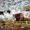 Brown Bear and 2 cubs