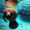 Swim with the Manatees, Crystal River Snorkeling