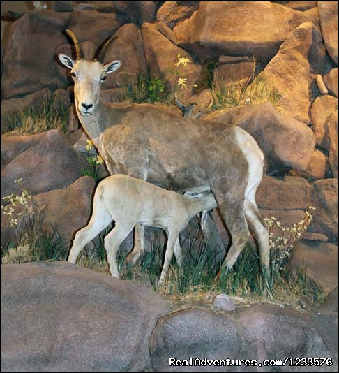 Exhibits at the National Bighorn Sheep Center - Exciting Wildlife Encounter with Bighorn Sheep