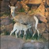 Exhibits at the National Bighorn Sheep Center