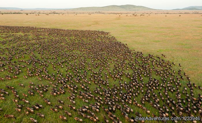 An aerial view of thousands of wildebeests | Image #3/21 | 7 Days 6 Nights Great Wildebeests Migration Safari