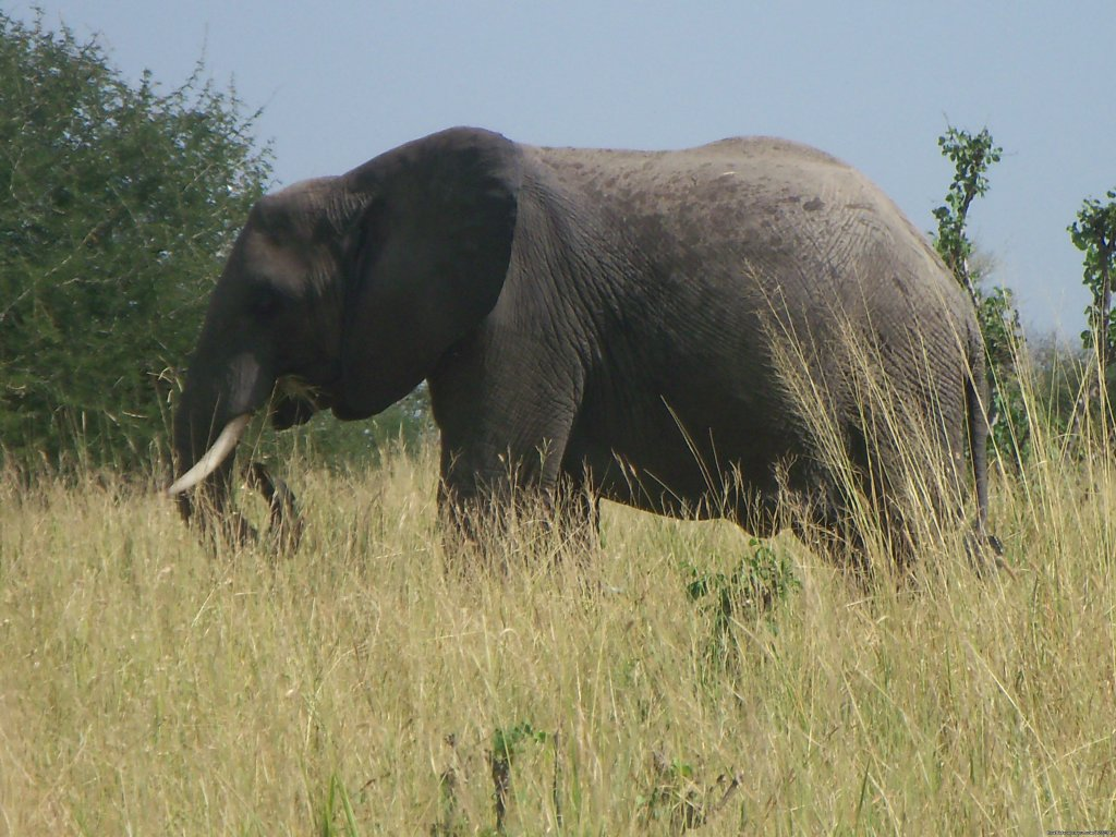 Elephant in Tarangire | Image #19/21 | 7 Days 6 Nights Great Wildebeests Migration Safari