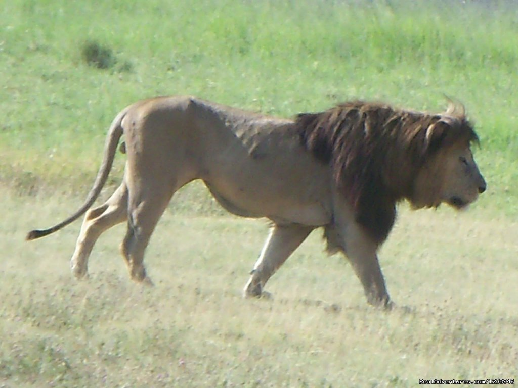 Lion in Mkomazi National Park | Image #20/21 | 7 Days 6 Nights Great Wildebeests Migration Safari