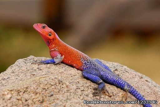Male Agama | Image #21/21 | 7 Days 6 Nights Great Wildebeests Migration Safari