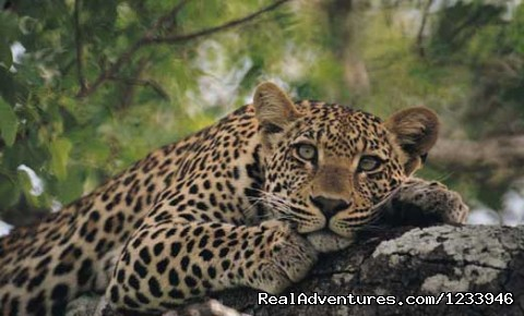 6 Days 5 Nights Camping Safari Leopard in Tarangire Park