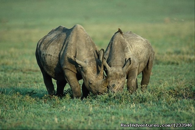 Black Rhinos in Ngorongoro Crater - 7 Days 6 Nights Great Wildebeests Migration Safari