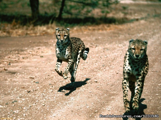 Cheetahs On The Run in Serengeti Park (#13 of 26) - 6 Days 5 Nights Camping Safari