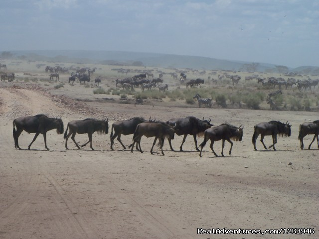 Wildebeest in Serengeti Park - 7 Days 6 Nights Great Wildebeests Migration Safari