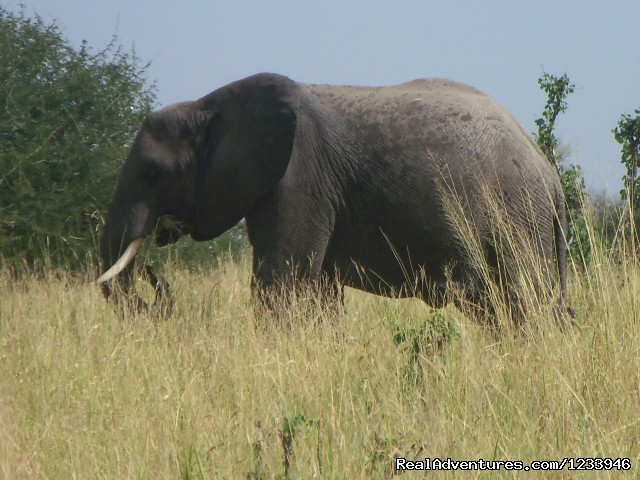 Elephant in Tarangire (#22 of 26) - 6 Days 5 Nights Camping Safari
