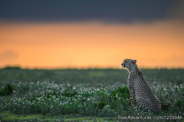 A cheetah on the look out in Ndutu - 7 Days 6 Nights Great Wildebeests Migration Safari