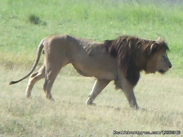 Lion in Mkomazi National Park - 7 Days 6 Nights Great Wildebeests Migration Safari