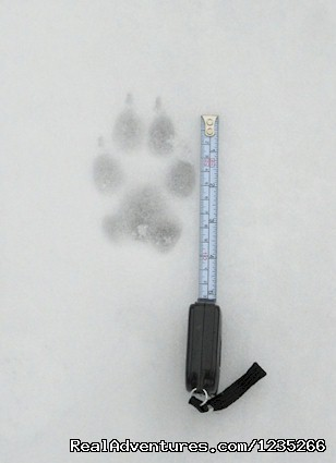 - Wolf and Lynx Tracking