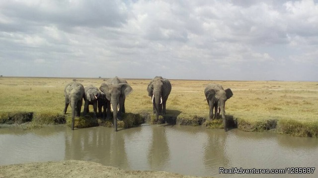 Serengeti_Elephants - Dream 2 Realities Travel- Tanzania, Kenya Safaris
